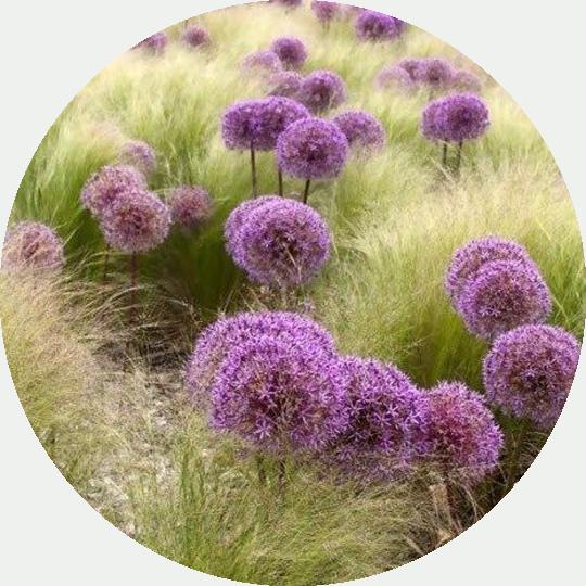 diseno-jardines-de-buena-planta-agapanthus