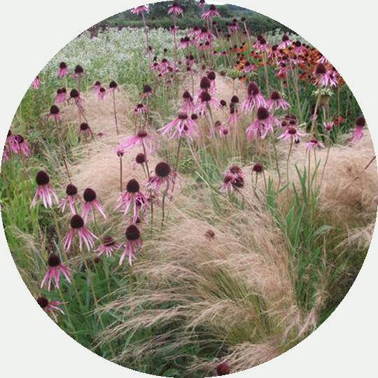 diseno-jardines-de-buena-planta-equinacea